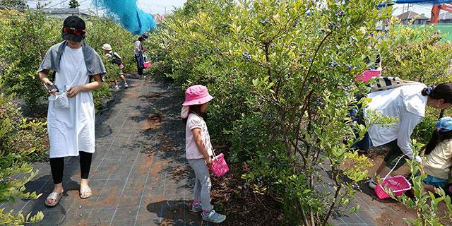 ご家族でのブルーベリー狩りの様子|ナイトウ果樹園